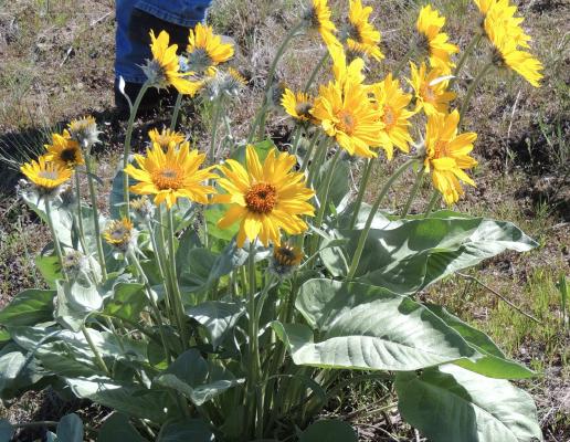 Sunflower  More Info