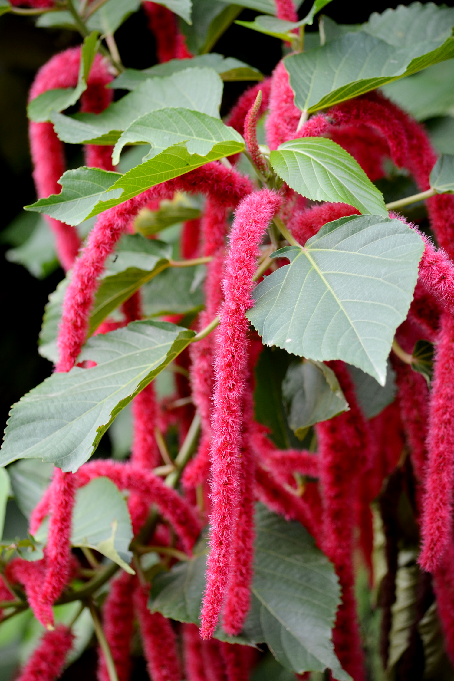 Acalypha_Hispida_DS.jpg