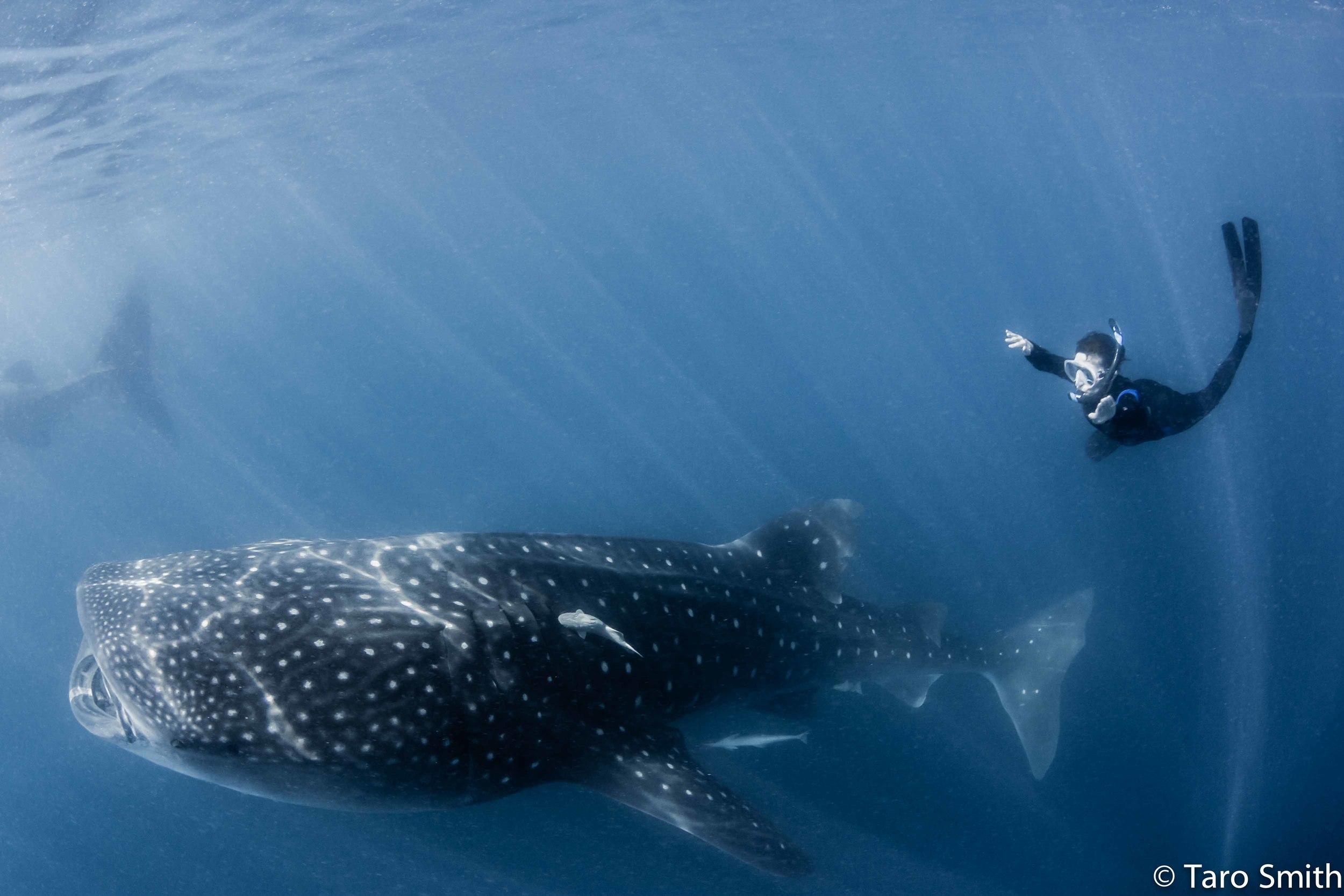 Amy Whale Shark II.jpg
