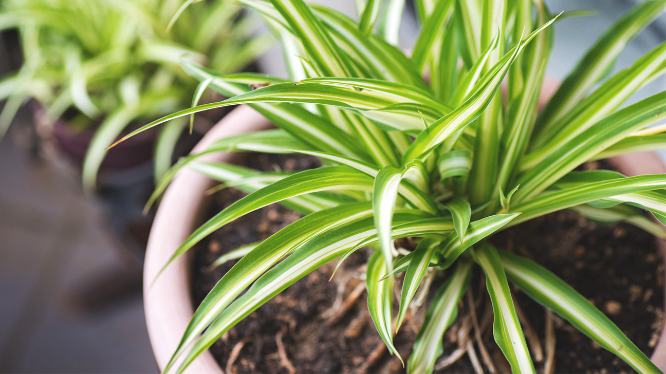 1047-The_Best_Air-Purifying_Plants_For_Your_Home-1296x728-Spider_Plant.jpg