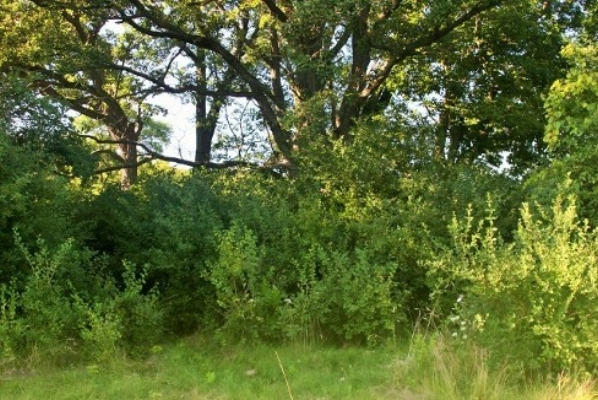 BEGINNING - THIS oak grove IS OVERGROWN WITH BUCKTHORN.