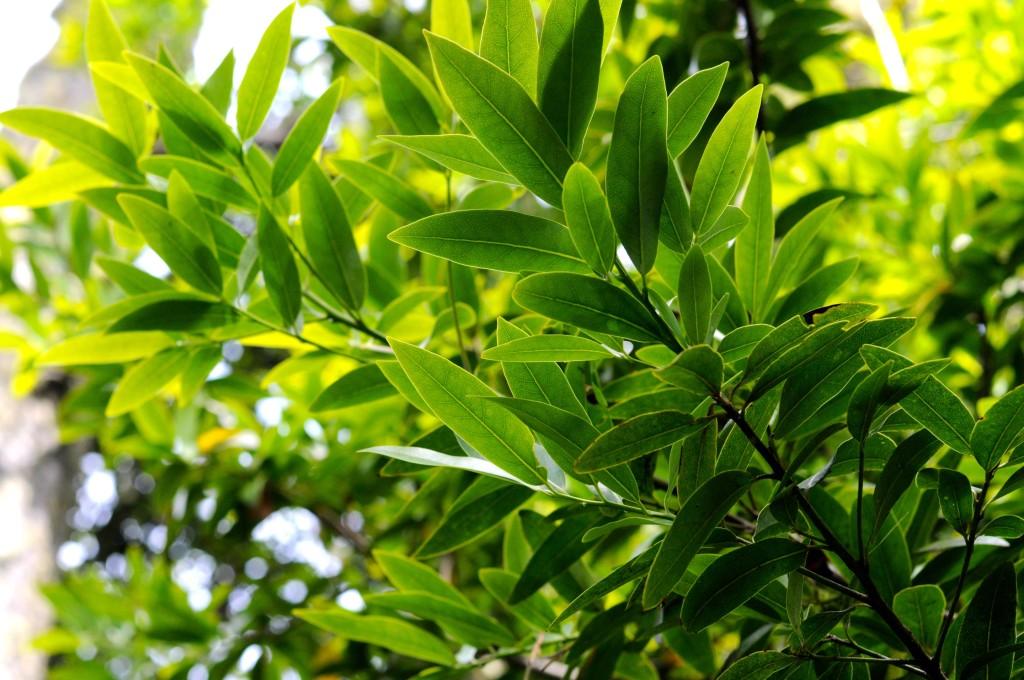 California bay leaf