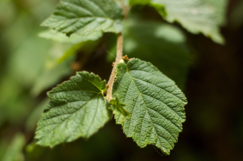 Hazelnut plant