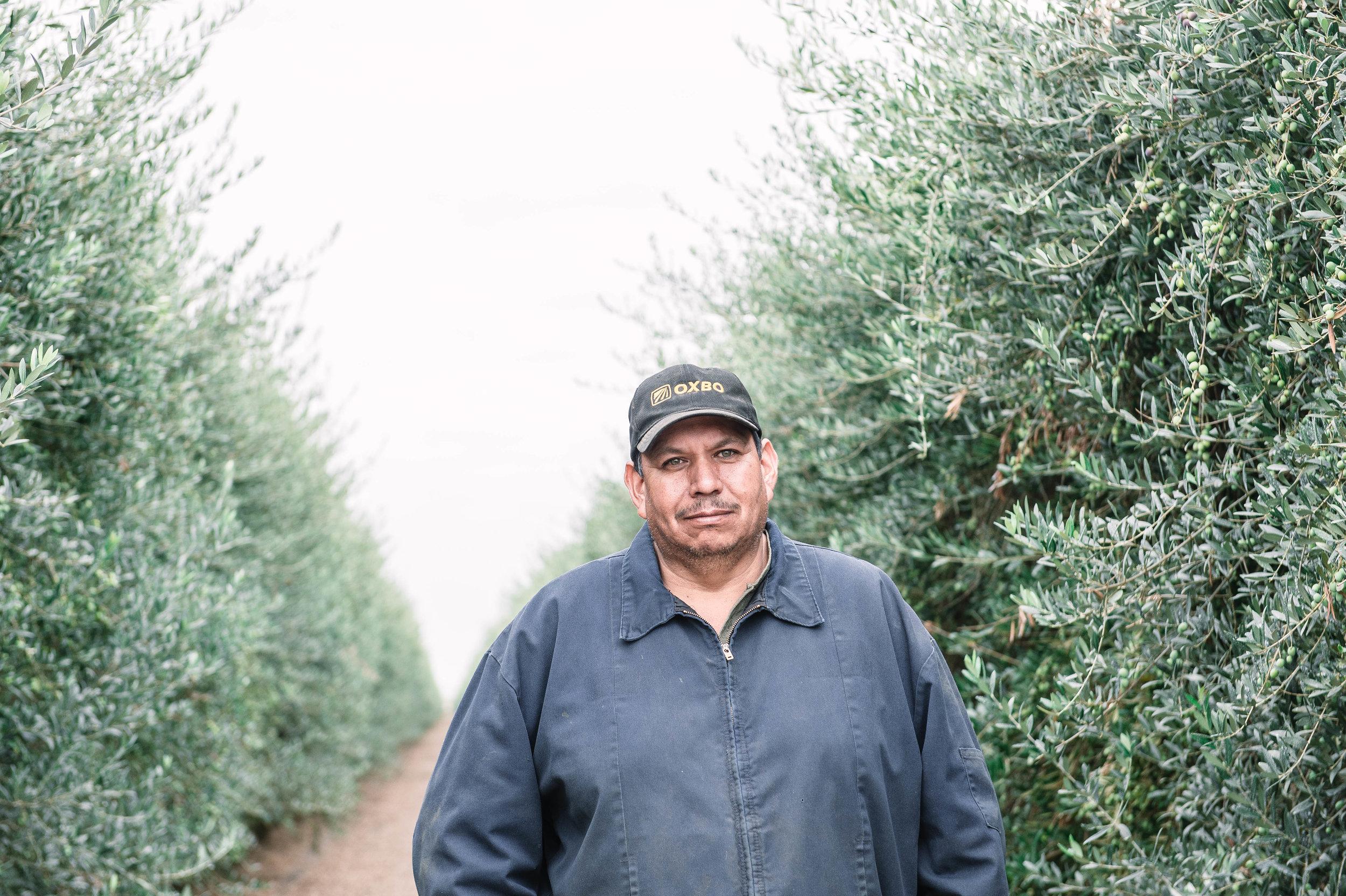 Olive oil harvester.jpg