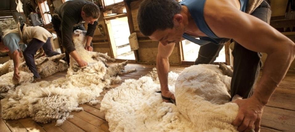 Shearing Photo.jpg