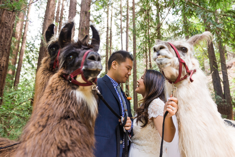 Bride and groom with llamas