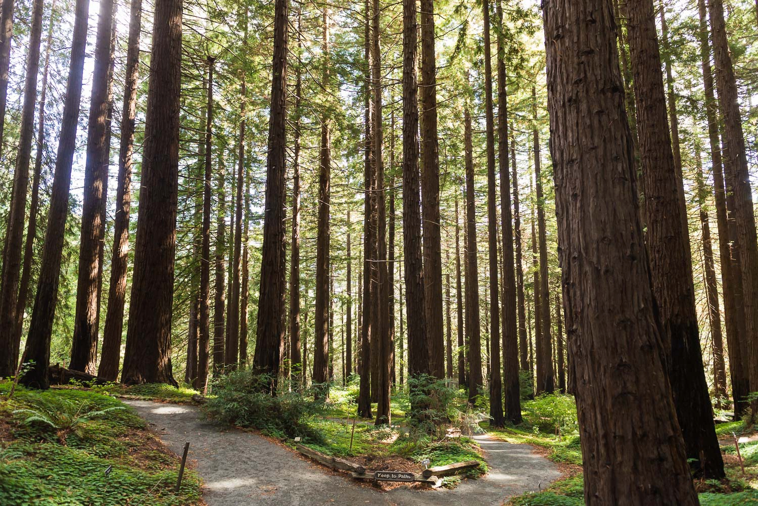 Redwood trees and a hiking trail