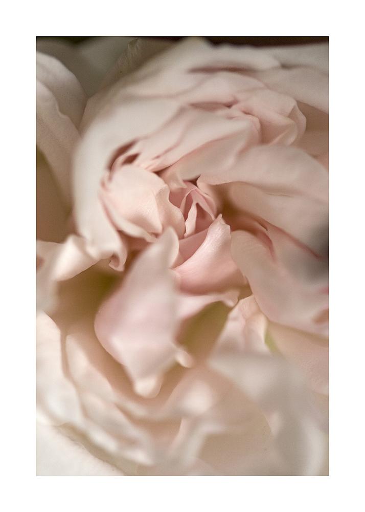 7_Rose_piajohnson.jpg