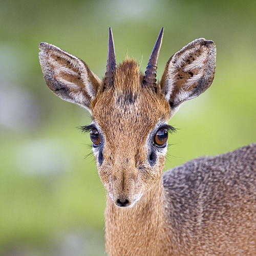 This is a dik dik. Isn't he cute?