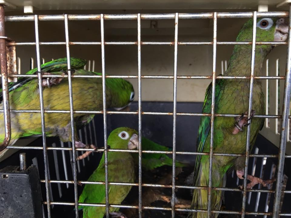 Parrots from the pet trade