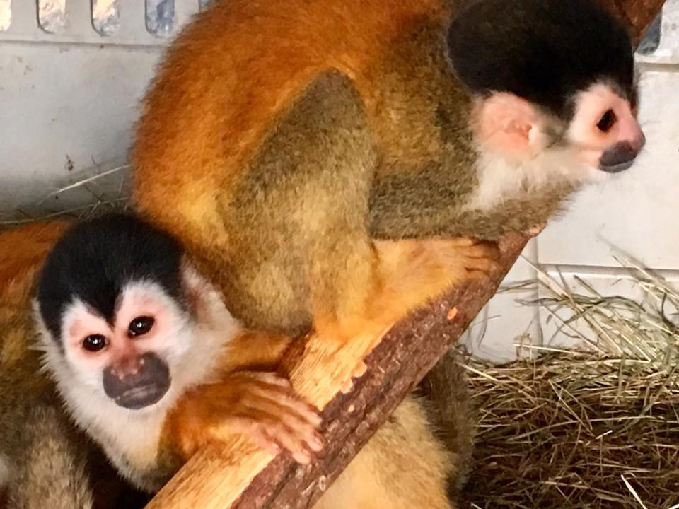 Squirrel monkeys, soon to be free