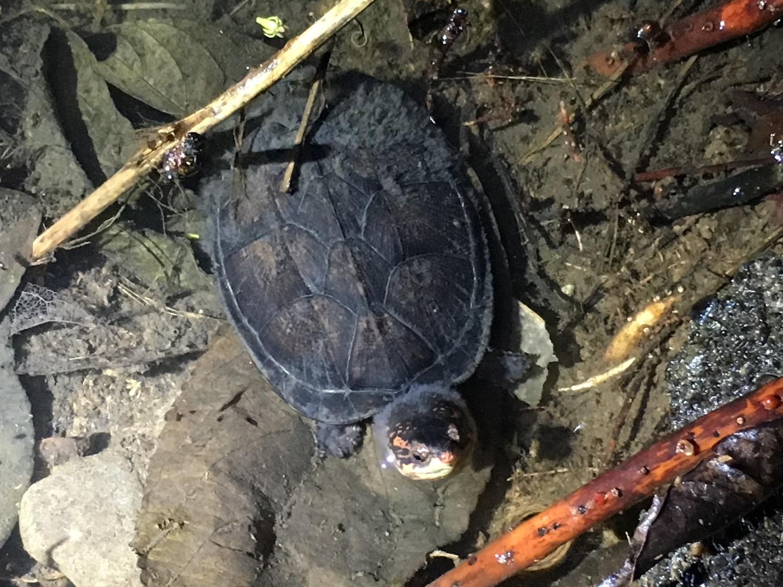 White Lipped Mud Turtle