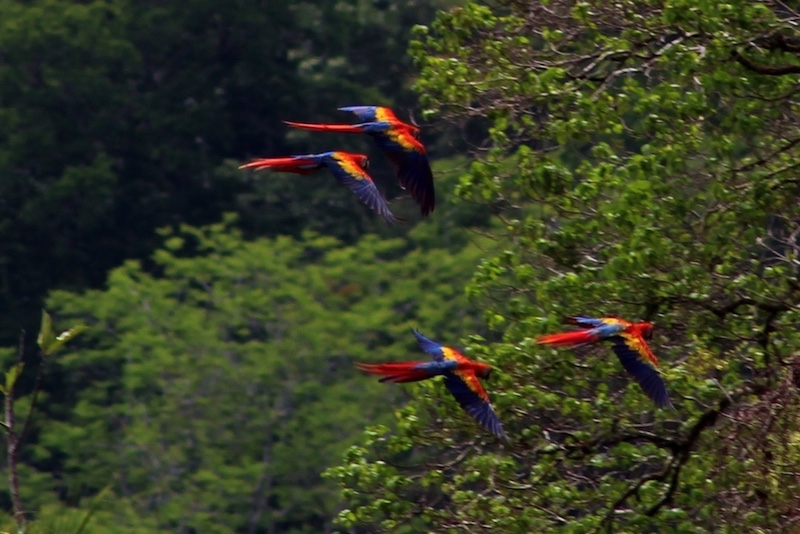Scarlet macaws flying in pairs over Playa San Josecito