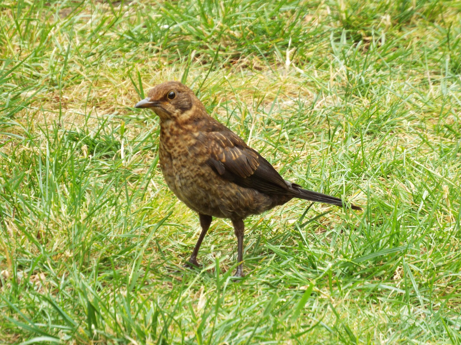 Fledgling blackbird, probably about two to three months old (All photos: Eleanor Scott)