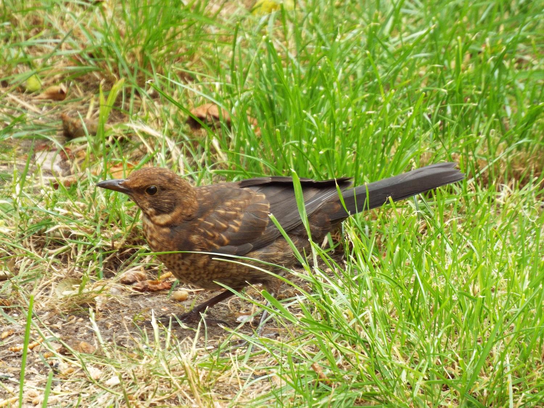 Juvenile blackbird roots for mealworms in urban garden