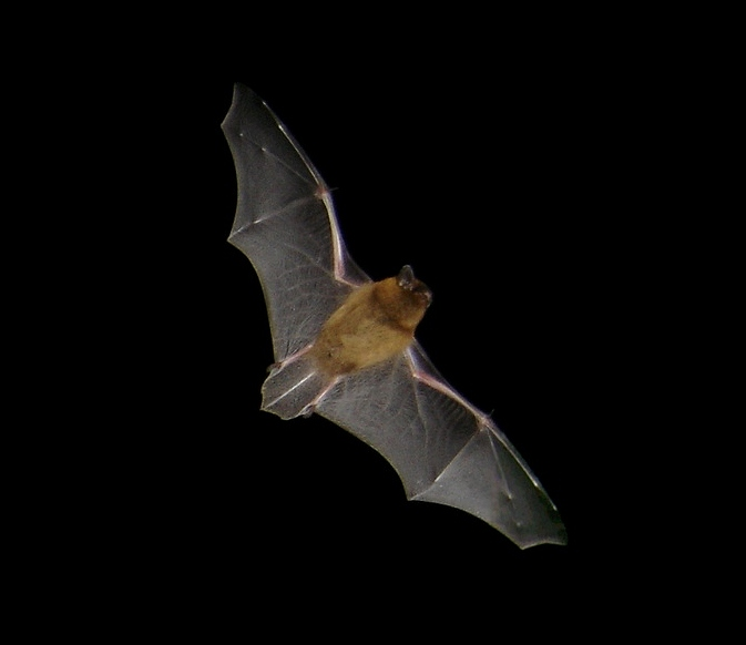 Pipistrelle bat in flight (Credit: Barracuda1983, wikimedia commons) - 75% of British bat sightings are pipistrelles