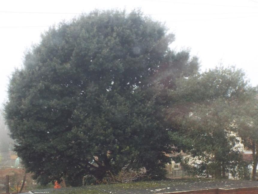 This mature tree ...