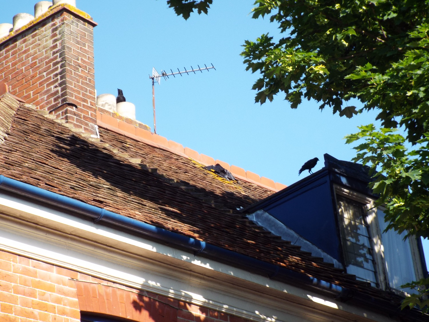 Crow family at the Newcome Arms, June 2017 - Mortimer (with wings outstretched) and parents
