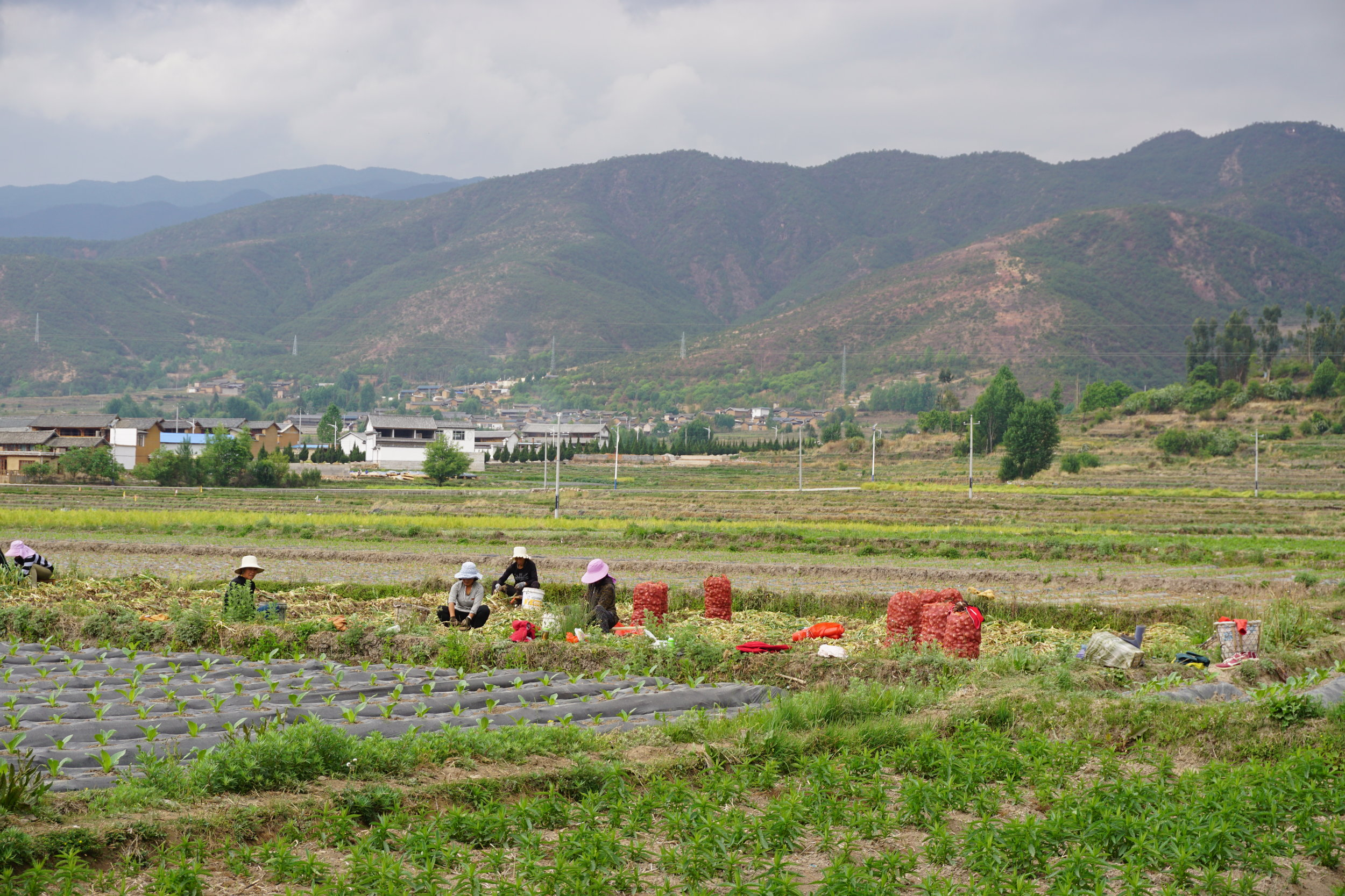 with china's food safety scandals, many families opt to grow their own food