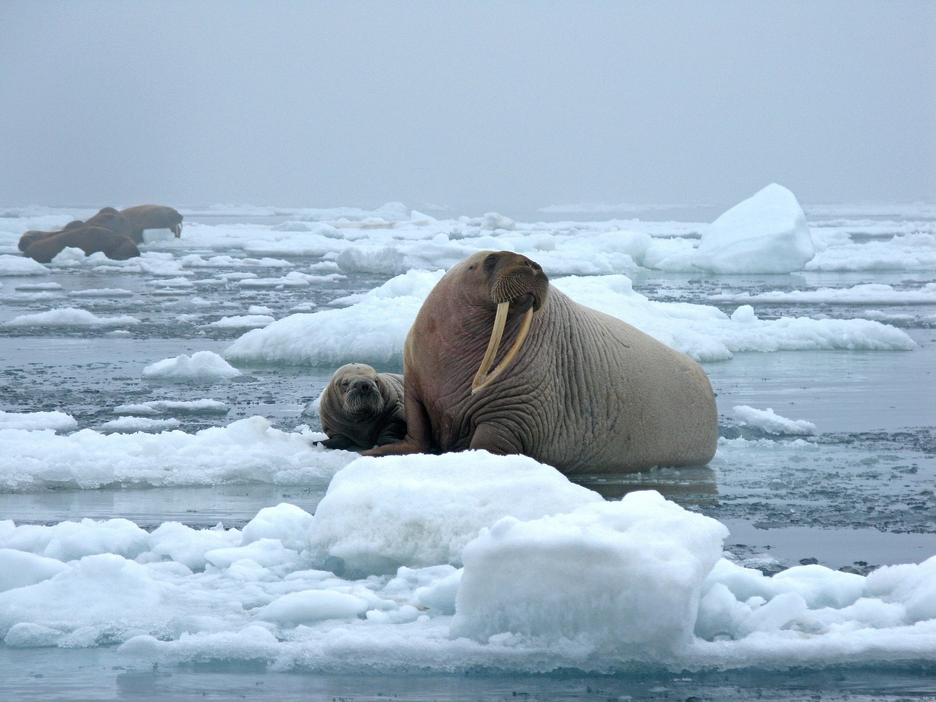 The controversial walrus falling off cliffs in Russia on Netflix Our Planet is a brutal reality.