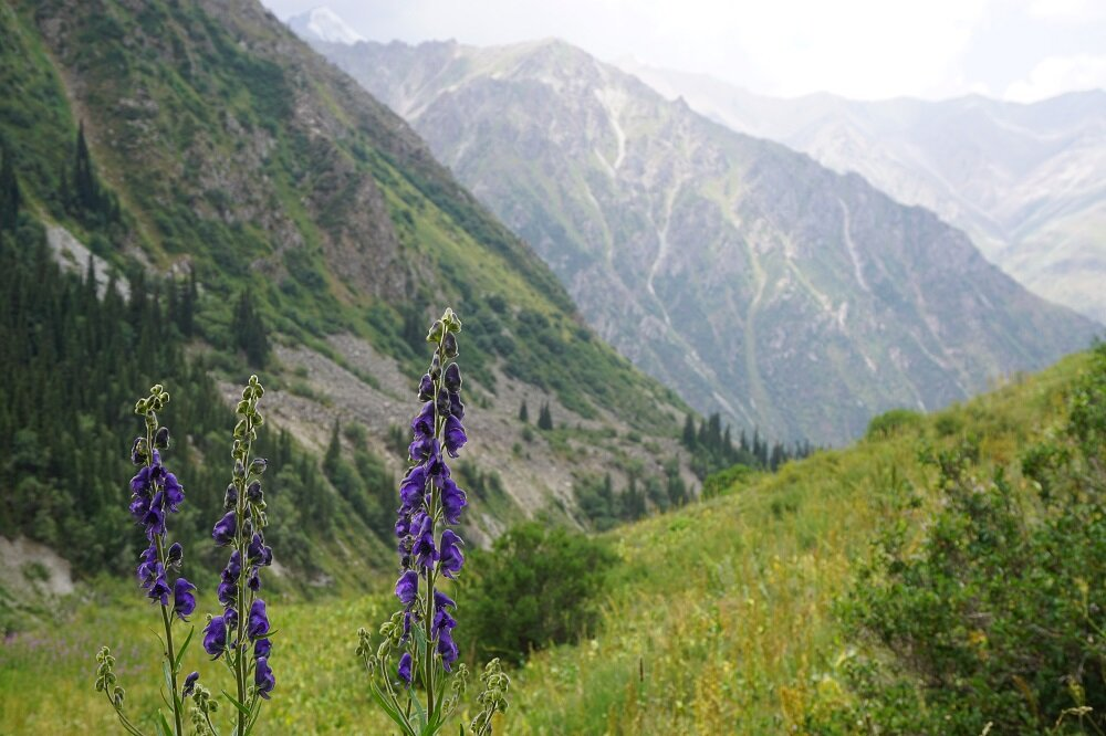 Wildflowers in Kyrgyzstan