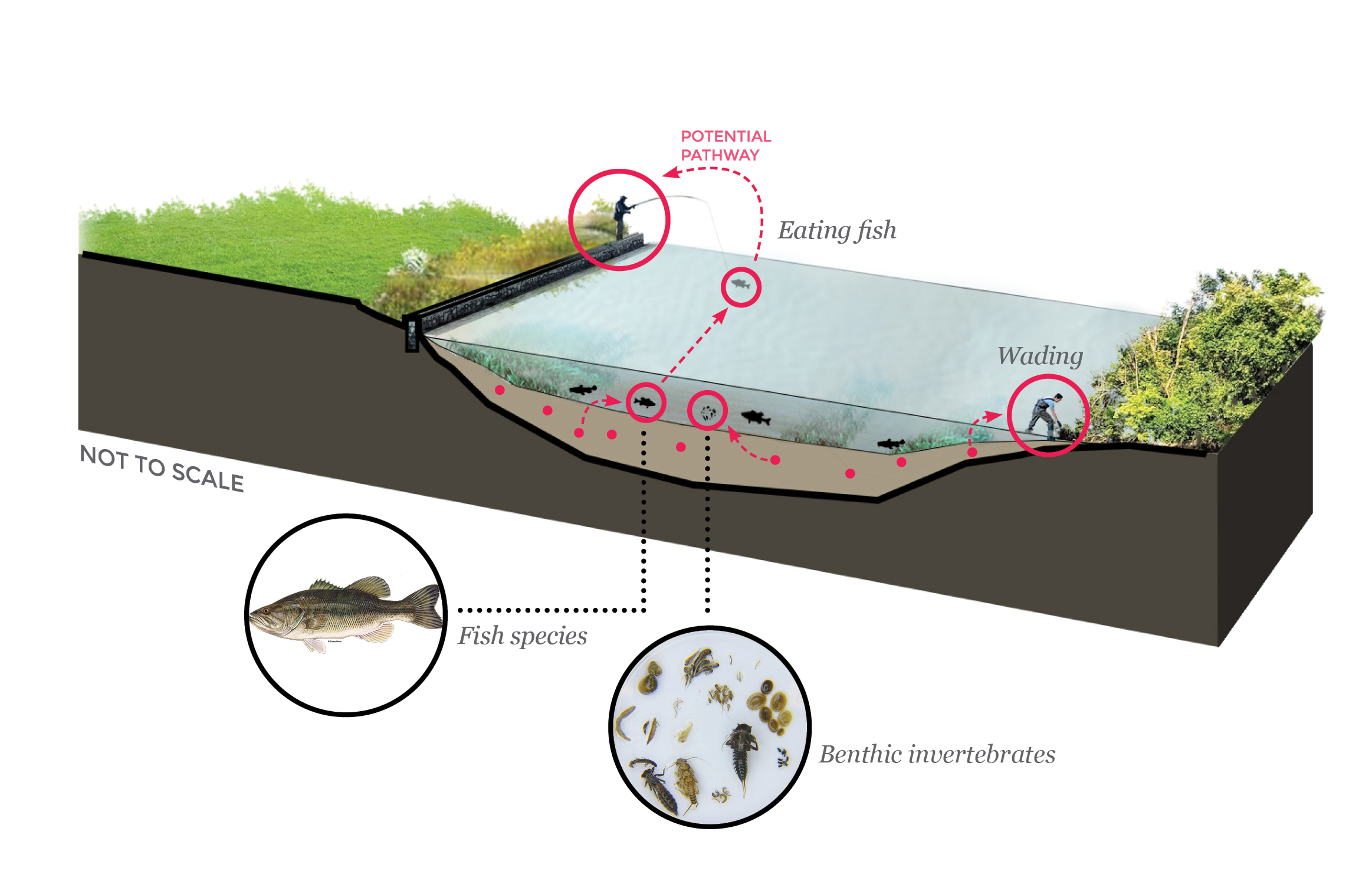 People who eat fish caught in the river are at risk from the contamination, as are people who wade in the sediment. Fish and benthic invertebrates (small animals like snails who live at the bottom of the river) are also at risk.