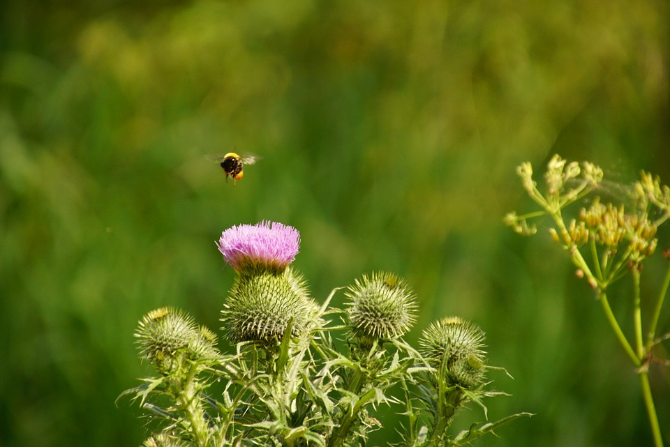 thistle-and-bee.jpg
