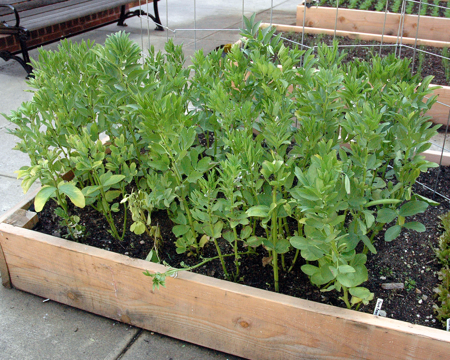 Fava Beans growing in one of the planters