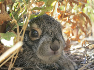 A jackrabbit peers out from its burrow