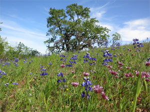 Removing invasive plants makes way for native wildflowers such as lupines and tomcat clover