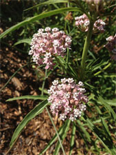 Narrowleaf Milkweed is important for butterflies