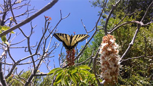 Butterfly on a CA Buckeye Tree on Google Campus next to Permanente Creek restoration project