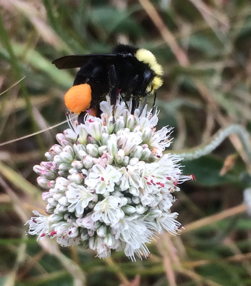 Native bumblebee
