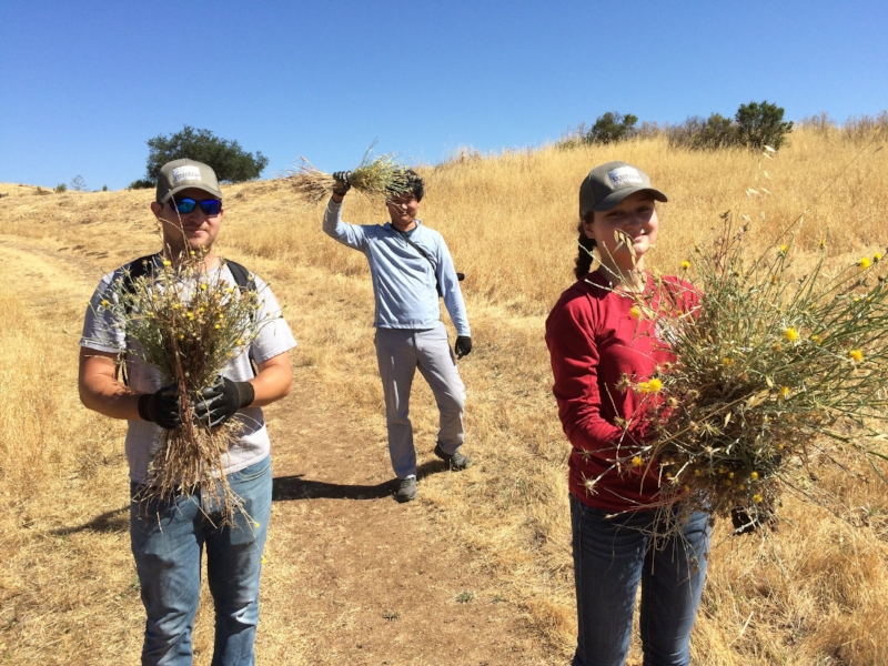 Interns hand pulling yellow star-thistle at Foothills Park.