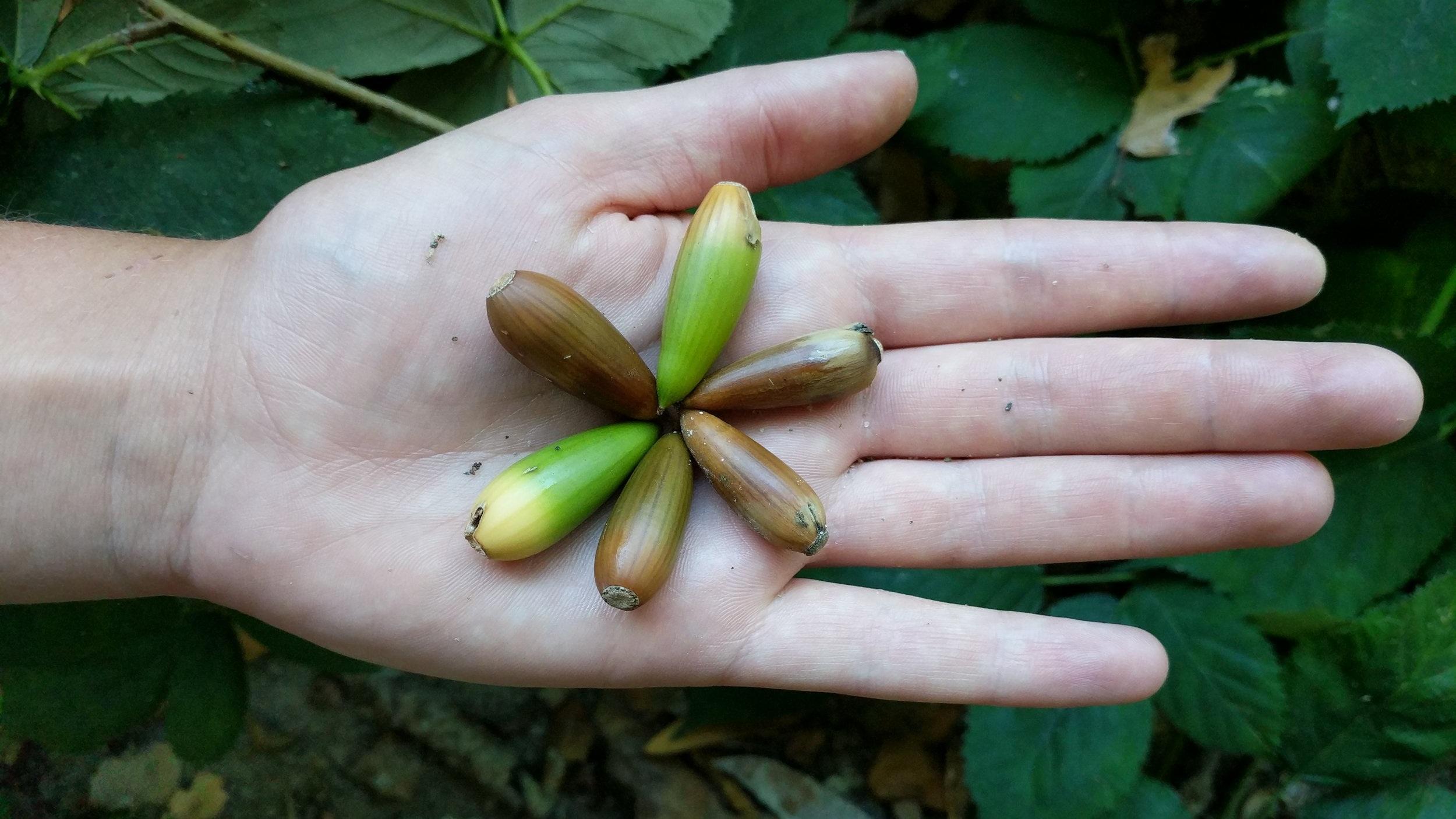 live+oak+acorns.jpg