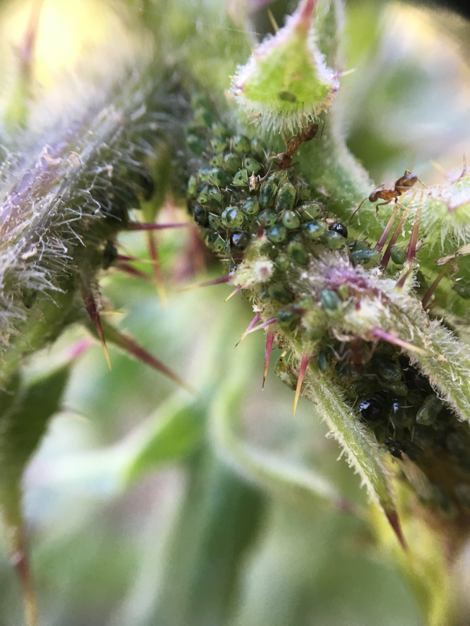 Argentine ants and aphids on a Crystal Springs Fountain thistle in Stulsaft Park