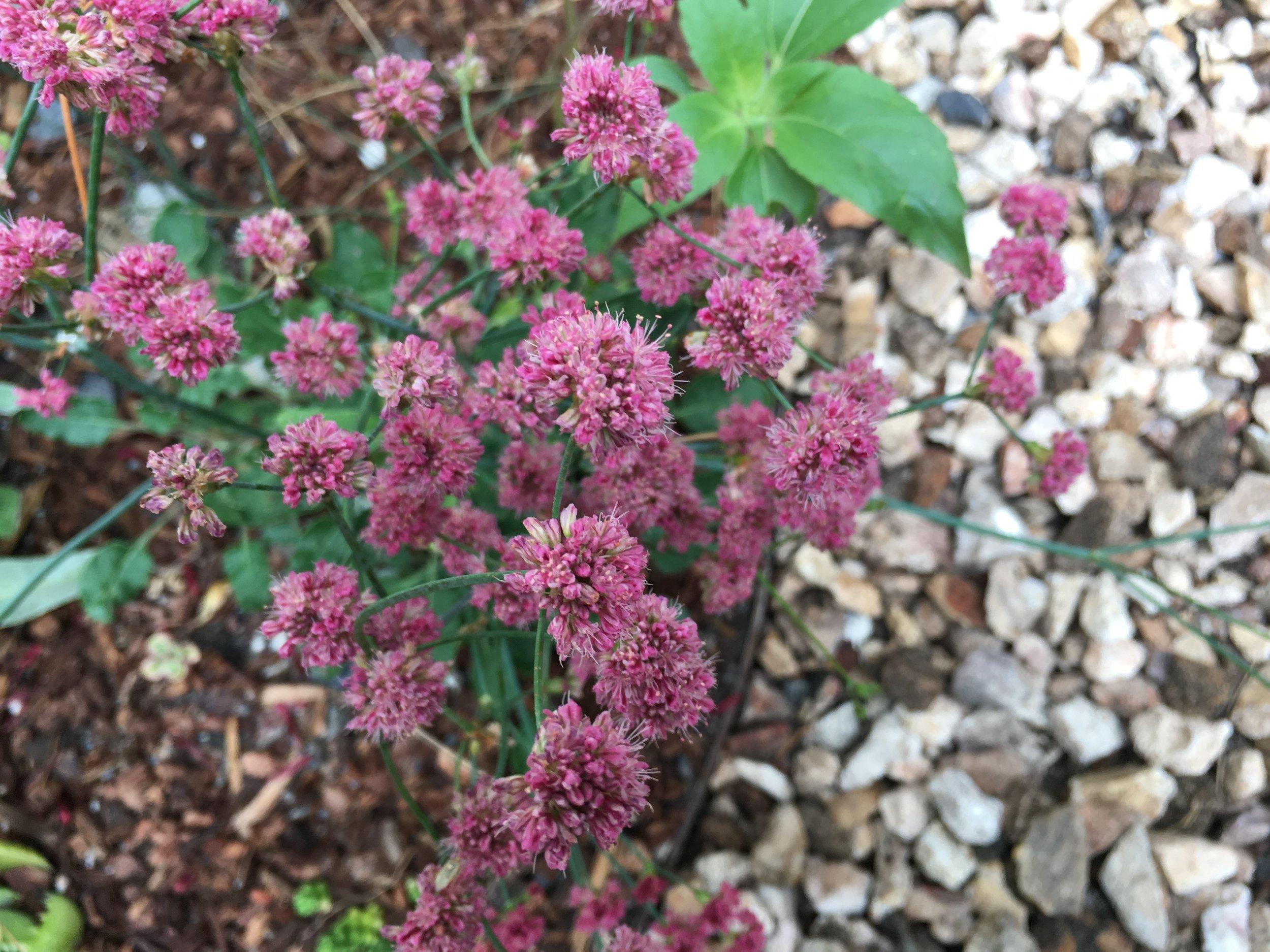 _2018_Mertens_Planting_Buckwheat_Pathway.jpg