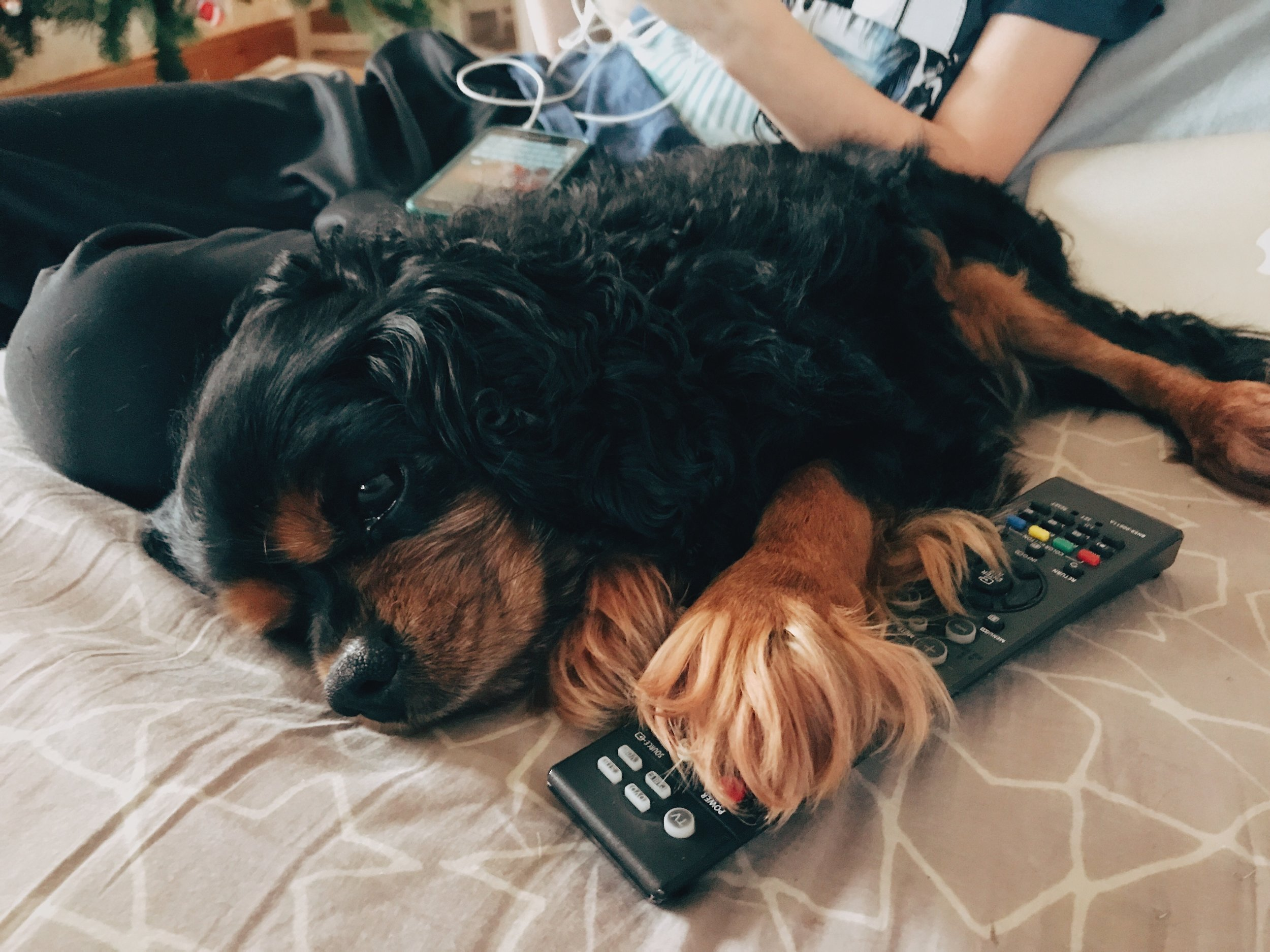 Wee goofball used to sleep on top of or hold on to the TV remote so that if you wanted to change the channel you had to give him some attention first.