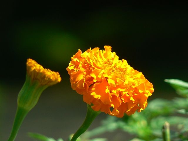 By Dinesh Valke from Thane, India - African Marigold, CC BY-SA 2.0, https://commons.wikimedia.org/w/index.php?curid=51606164