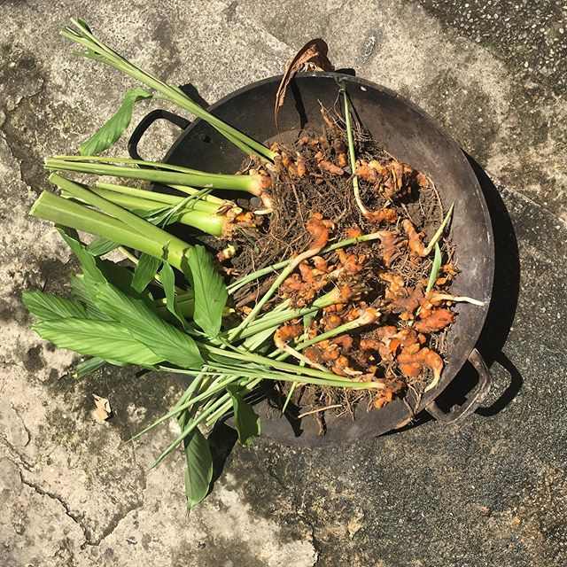 Turmeric harvest from the roof garden! 👍🏽