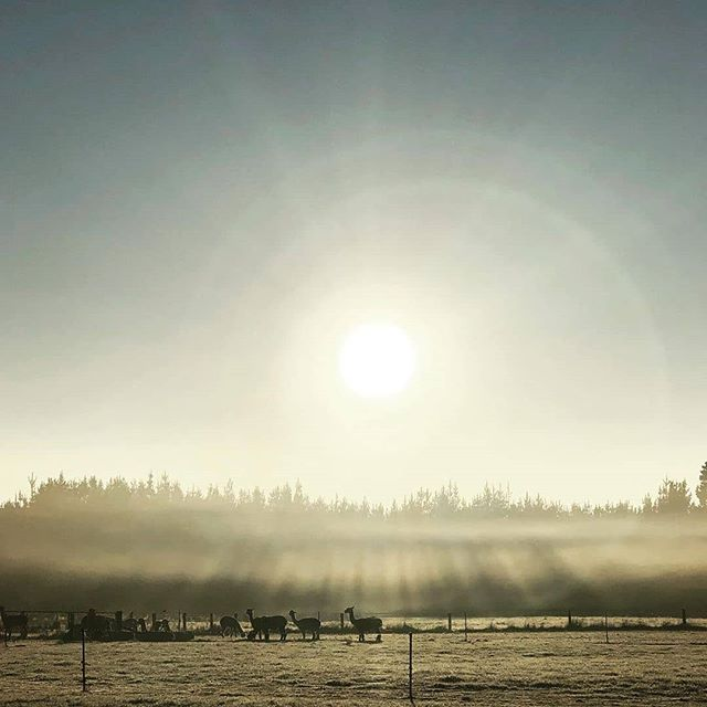 Sunrise and mist over Revelation NZ Alpaca Stud, Waimate District NZ. 📸 : @revelationnzalpacastud