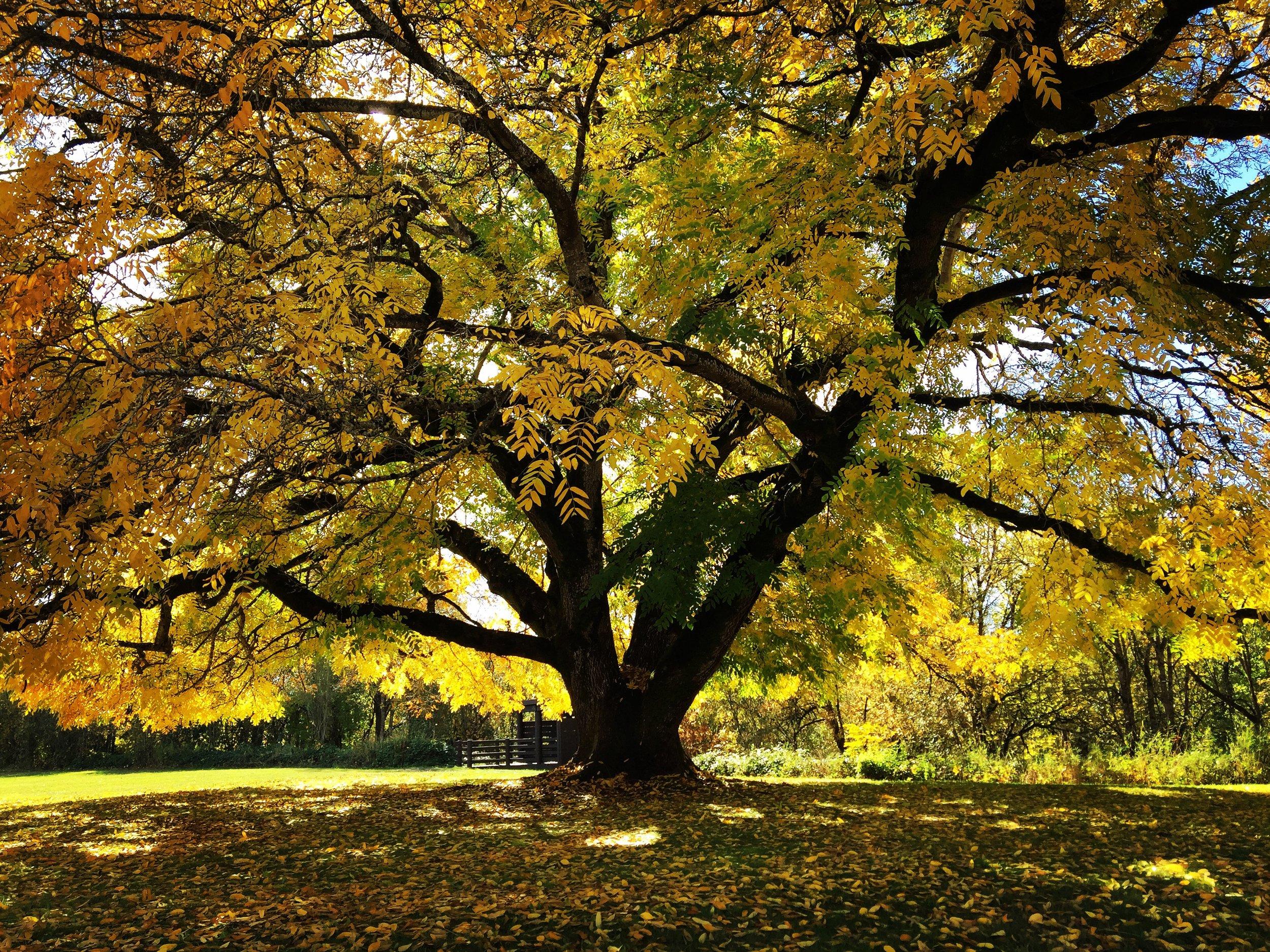 Autumn tree willamette mission.JPG