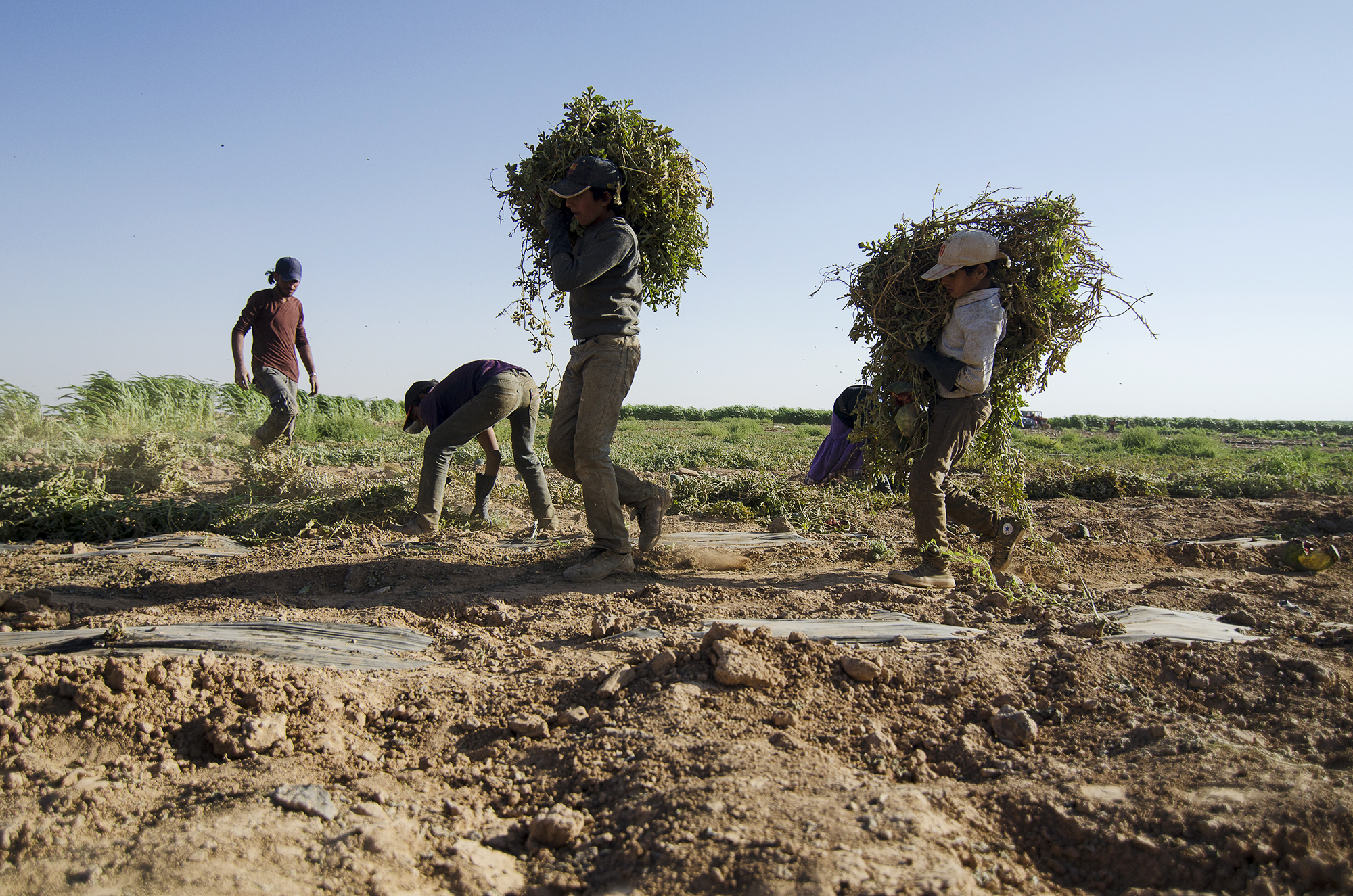 Syrian refugees haul weeds from a farm plot a few paces from Jordan's northern city of Mafraq. Since 2011, some 1.4 million Syrians have fled to Jordan,many of whom are now working in the country's farms, where laws against refugee labor have been harder to enforce. June 2015.