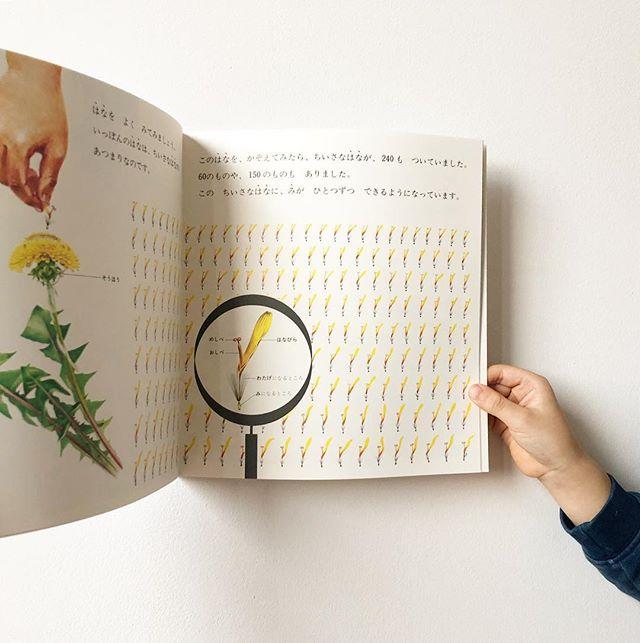 たんぽぽ 📖  our favorite dandelion book  #かがくのとも #たんぽぽ #春 #読書 #えほん #springbooks #spring #dandelion #readingtime #learningjapanese