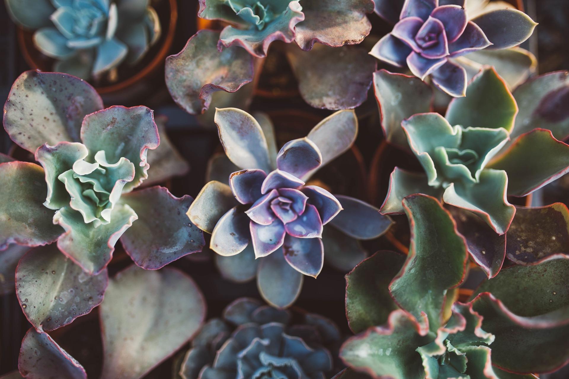 succulent-1031541_1920.jpg