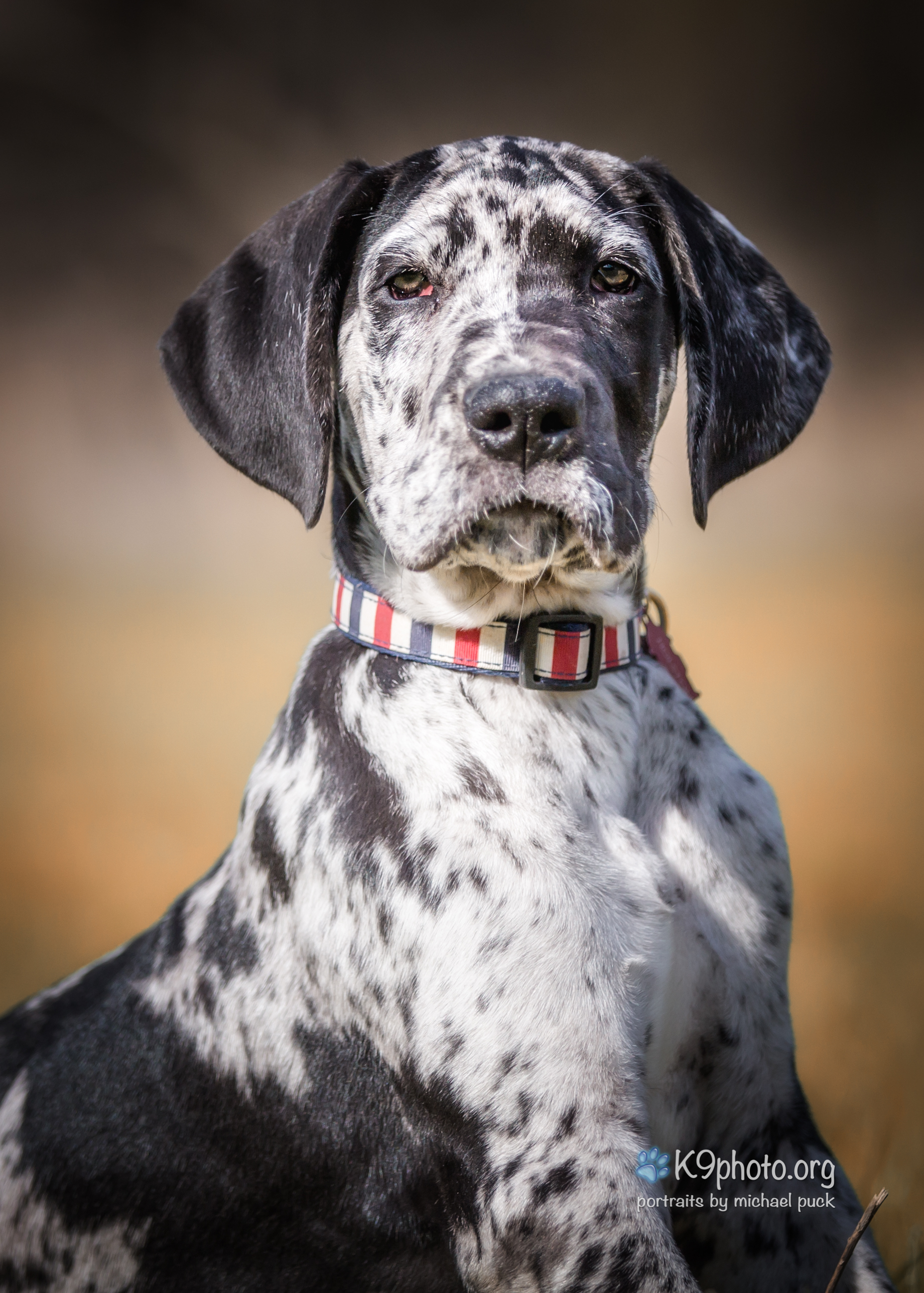 Holston, a 12.5 week old Great Dane enjoying a sunny afternoon at the Warrior's Path Park
