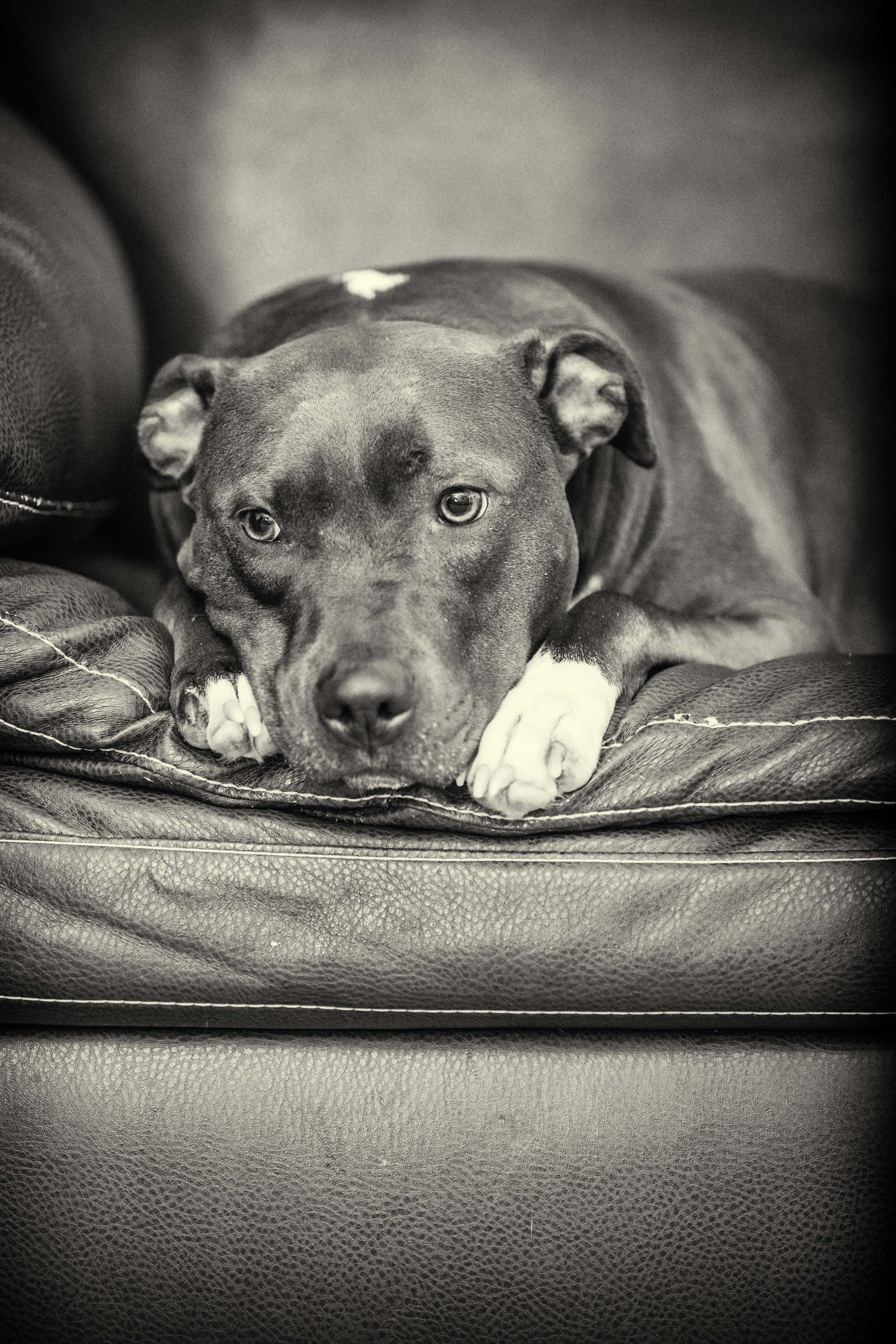 Madison & Molly  - Two Country Pit Bulls
