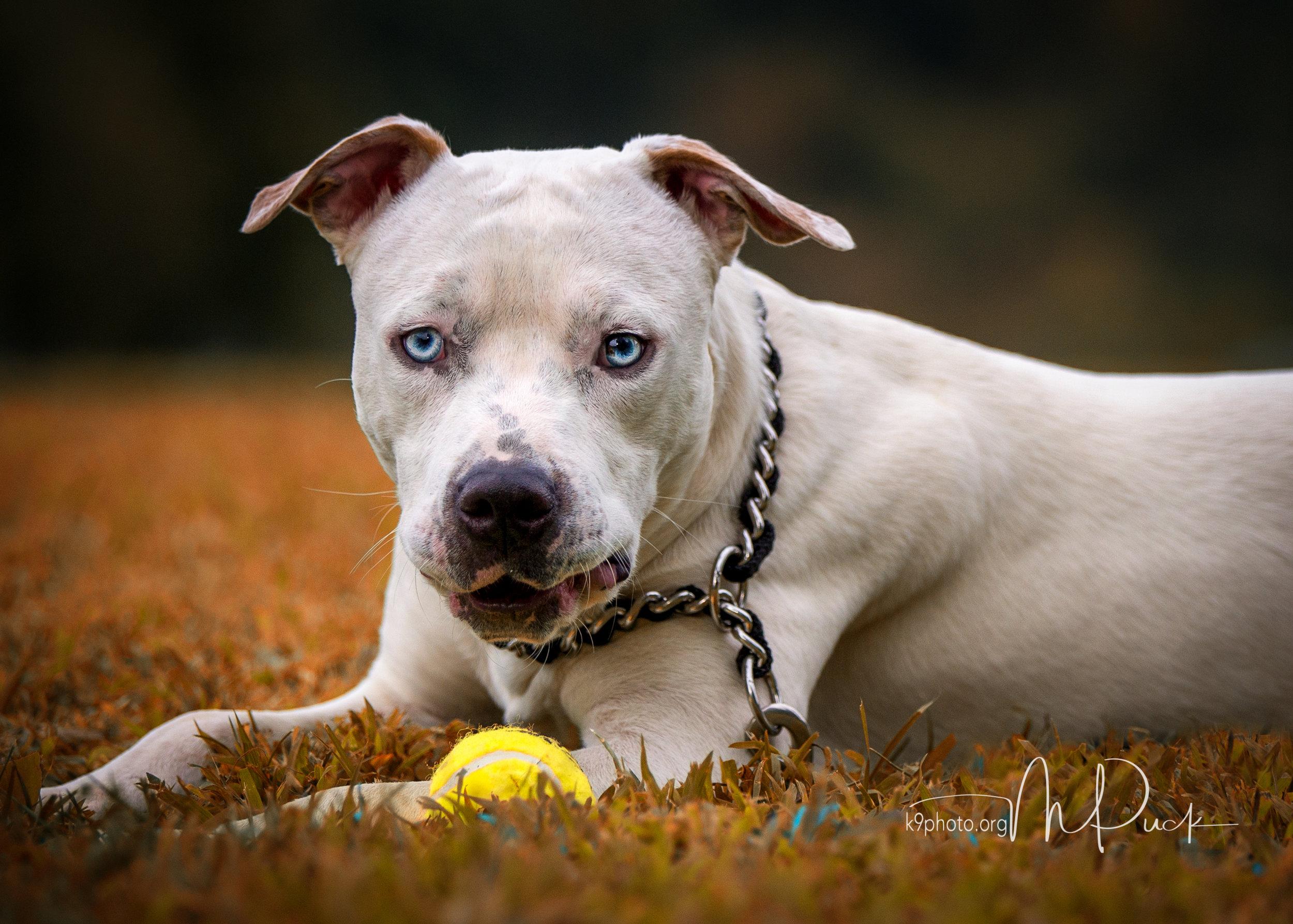 Peabody - 18-month American Bulldog Mix - FPSR