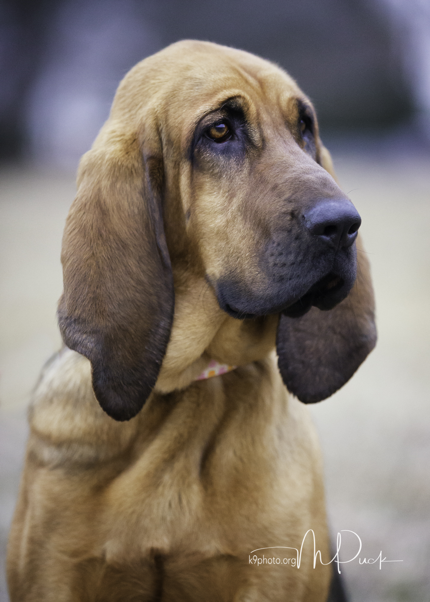 Daisy, 1-year old Bloodhound - adopted