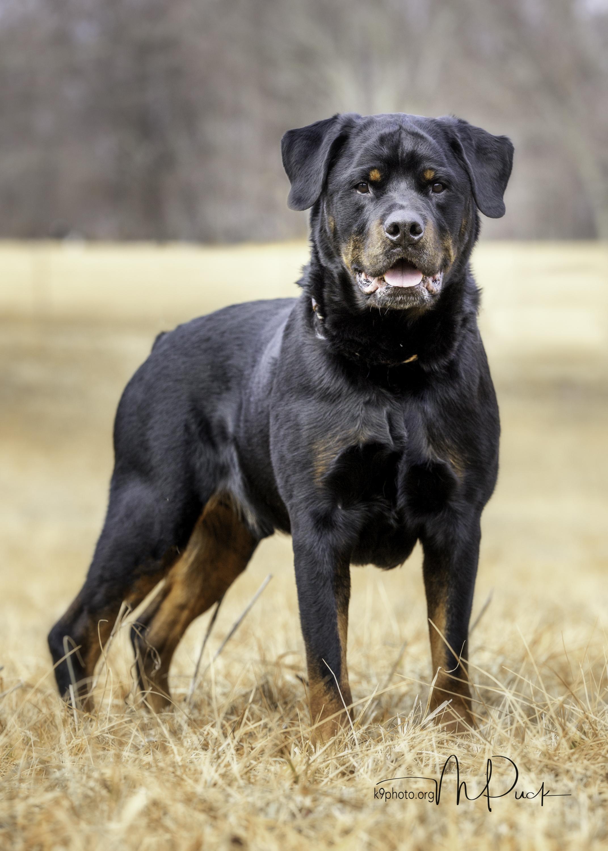 Oscar, Lexi & Bentley - three wonderful Rottweilers